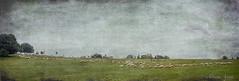 6 marzo 2017. Roma, parco della Caffarella, come in un dipinto... (adrianaaprati) Tags: italy allaperto verde green prato meadow alberi trees inverno winter pecore gregge sheep mouton flockofsheep arbres park appiaantica roma calma campagna countryside texture brendaclarke sky cielo painting landscape paesaggio textured
