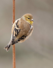 American Goldfinch male winter plumage (mandokid1) Tags: canon canon500f4 1dx birds finches