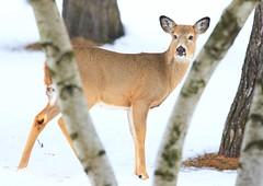 white-tailed deer doe at Lake Meyer Park IA 854A5038 (lreis_naturalist) Tags: whitetailed deer doe lake meyer park winneshiek county iowa larry reis
