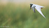 Whiskered Tern - Chlidonias hybrida (Aphelocoma_) Tags: 2016 australia canonef300mmf28lisiiusmlens canoneos5dmarkiii canonextenderef14xii charadriiformes chlidonias chlidoniashybrida image january laridae nature photo photograph picture pointwilson sternidae tern victoria westerntreatmentplant whiskeredtern wildlife animal bird summer