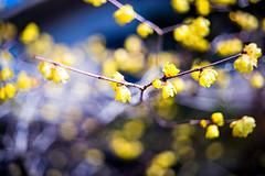 February (moaan) Tags: kobe hyogo japan jp wintersweet ume umeblossom tree branch umetree blossom blossoms inblossom fullblossom bokeh dof utata 2017 leica mp leicamp type240 summicron50mmf20dr leicasummicron50mmf20dr