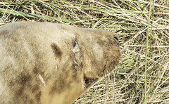 Donna Nook Seal1 (oliverrodgers1) Tags: seal commonseal donnanook mammal sea beach