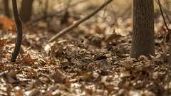 Is it Spring yet? (gimmeocean) Tags: chipmunk miltonlakepark rahway newjersey nj