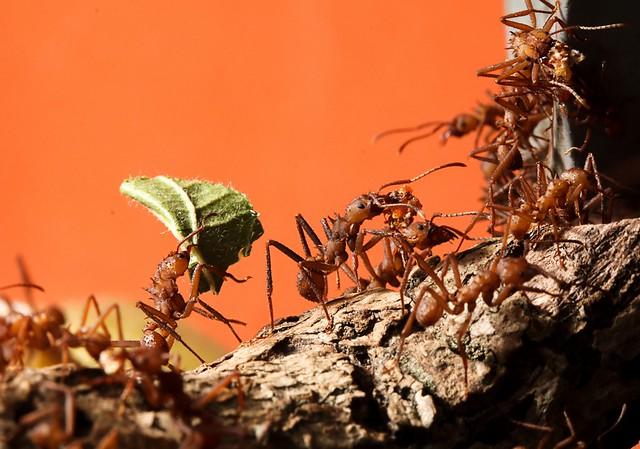 Leaf ctter ants