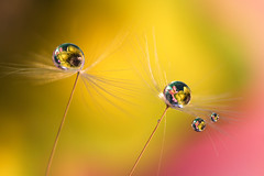 Yellow (Marilena Fattore) Tags: dandelion tarassaco dentedileone macro canon 90mm waterdrops droplet nature floralart closeup reflection bokeh light yellow pink flores water daisy macrodreams soft macrophotography shadow garden