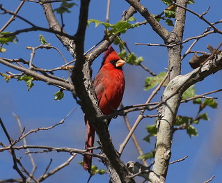 Northern Cardinal in SoCal