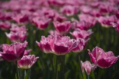 _DSC0790 (Riccardo Q.) Tags: parcosegurtàtulipani places parco altreparolechiave fiori tulipani segurtà