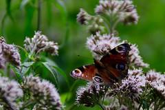 Dagpauwoog (l-vandervegt) Tags: holland netherlands nikon nederland paysbas buterfly twente dagpauwoog overijssel vlinder niederlande haaksbergen 2015 nymphalidae buurserzand d3200 aglaisio