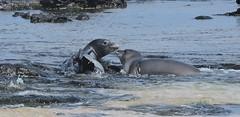 Hawaiian Monk Seal (mygirlzgotpaws) Tags: ocean animal hawaii marine pacific kauai endangered monkseal