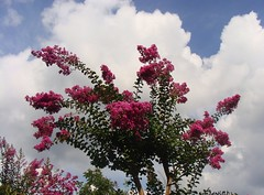 Fiori e nuvole  -  Flowers and clouds (Cristina 63) Tags: pink flowers blue trees sky italy white flower tree verde green nature leaves foglie alberi clouds europa europe italia nuvole blu rosa natura piemonte cielo quintaflower flowerthursday fiori fiore albero azzurro bianco piedmont pianta nwn crapemyrtle lagerstroemiaindica valchisone sangermanochisone mirtocrespo