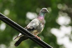 Sur son arbre perché (alex.bernard) Tags: canada bird nature animal canon outdoor pigeon birding sigma québec sherbrooke powerline oiseau sigma70200mm filélectrique canon5diii