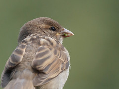this one will go all the way to the top (altan o) Tags: house sparrow