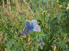 Argus bleu (Sam Nimitz) Tags: butterfly papillon commonblue pasdecalais terril lapugnoy spoiltip argusbleu