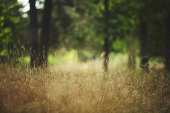 Pathless (Tammy Schild) Tags: trees summer blur nature field grass golden woods bokeh depthoffield