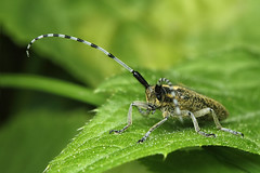 Agapanthia villosoviridescens (shimie) Tags: color macro green eye nature grass animal les forest canon hair insect eos moss eyes outdoor extreme 100mm jed l slovakia usm poison predator wald mach oci chlp chelicery