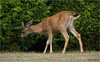 young male deer - last photo, promise. (marneejill) Tags: colour male green closeup photo eating young deer antlers vancouverisland hedge buck