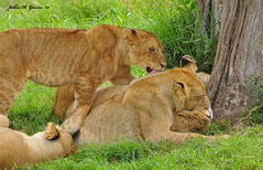DSC_3561-b Loving Lions, Masai Mara, Kenya. (GavinKenya) Tags: loving cat gavin cub big kenya lion preening grand pride h bigcat mara lions predator lioness masai lioncub preen masaimara lionpride africakenya lovinglions safariafrica safariafrican lovinglion safariskenya kenyamasai safariwildlife masaimaralions gavinjohn preenionlions africacleancleaningkenyaafricaafrica 2015safari 2015safaridkgrandsafarisdk photographywildlifephotographyanimalwildafrican wildlifeafricanjunejuly2015mammalnaturenature photographyphotographerkenya wildlifejohngavinjohn