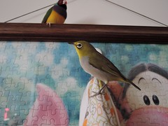 DSCN9779 (Jenny Yang) Tags: pet bird lady finch gouldian