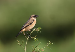 common stonechat (tareq uddin ahmed) Tags: india nature birds siberian common ahmed bangladesh uddin tareq stonechat