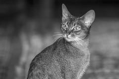 Abbasynian Cat (wietsej) Tags: zeiss sony 135 18 za sonnar 13518 a77ii wietsejongsma