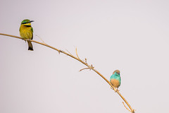 Little Bee Eater and Blue Waxbill (Nev Jones) Tags: africa botswana beeeater bluewaxbill