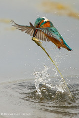 King Fisher (hvhe1) Tags: wild fish holland bird home nature water animal drops pond king wildlife dive nederland thenetherlands kingfisher fisher catch vogel vijver commonkingfisher alcedoatthis ijsvogel tonden eisvogel specanimal hvhe1 hennievanheerden martinpcheurdeurope