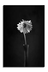 Tilted Daisy (shutterclick3x) Tags: blackandwhite white black flower daisy gerber frankloose