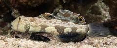 Two spot goby (Signigobius biocellatus) (shadowshador) Tags: life sea two fish water wildlife spot ichthyology reef biology animalia reefs scientific taxonomy goby classification chordata bilateria deuterostomia craniata vertebrata gnathostomata osteichthyes gobiidae actinopterygii neopterygii teleostei biocellatus eukaryota perciformes eumetazoa acanthopterygii signigobius opisthokonta neomura gobiinae holozoa filozoa