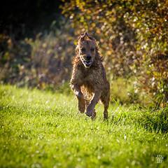 2015-11-01_Q8B3935 © Sylvain Collet.jpg (sylvain.collet) Tags: autumn dog chien france nature goldenretriever automne golden retriever sur marne vairessurmarne vaires jipeg