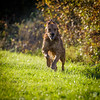 2015-11-01_Q8B3935 © Sylvain Collet.jpg (sylvain.collet) Tags: autumn dog chien france nature goldenretriever automne golden retriever sur marne vairessurmarne vaires jipeg