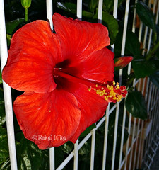 Un poco de libertad (akel_lke ) Tags: flower fleur blumen murcia hibiscus blomma bunga fiore elke papo virg hoa lore rakel cayena bloem lill  blm iek floro kwiat blodau tulipn clavel amapola espinardo sangredecristo paj  kukka    cucarda peregrina carloti cvjetni catto sanjoaqun zieds rosachina  kvtina kvetina floare resucitado iedas   regindemurcia marpacfico wadamala flordeavispa flordecayena cattor fonche rakelelke rosajamaica cinesia rakelmurcia familiamalvaceae