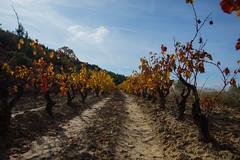 Viñas en Otoño 4 (Garimba Rekords) Tags: santa de la san piscina colores cambio otoño vicente rioja maría pasillo amarillos viñas rojos marrones sonsierra podadas peciña