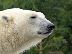 Polar Bear Nanuq*Happy Birthday (BrigitteE1) Tags: november germany de zoo europe polarbear happybirthday hanover ijsbeer eisbär 2015 nanuq isbjørn ursopolar osopolar climat jegesmedve unitednationsclimatechangeconference isbjörn specanimal kutupayısı 북극곰 erlebniszoohannover specanimalphotooftheday urspolar weltklimagipfel белыймедведь niedźwiedźpolarny medvědlední polarnimedvjed baltasislokys polārlācis білийведмідь белимедвед specanimaliconofthemonth äisbier belimedved 20151130 medveďbiely bercribe sommetmondialsurleclimat