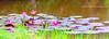 Lotus blossom. (maharamiko) Tags: woman indonesia lotus blossom swamp bunga indah aceh rawa teratai wanita cantik gayo takengon mistis blangkejeren berbunga gayolues