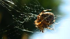 Woven Web (Miriam Christine) Tags: macro closeup spider fly feeding web meal catch woven sucking spidersilk