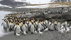 Salisbury Plain Beach (Med Gull) Tags: cruise expedition penguin southgeorgia kingpenguin jimwilson seaadventurer zegrahmexpeditions slaisburyplain