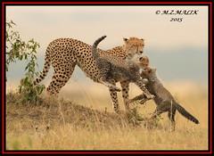 FEMALE CHEETAH WITH HER CUBS (Acinonyx jubatus).....MASAI MARA....SEPT 2015. (M Z Malik) Tags: africa nikon kenya wildlife ngc safari npc cheetah kws masaimara cheetahfamily flickrbigcats exoticafricancats d800e exoticafricanwildlife 400mmf28gedvr