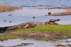 Croc on the banks of the Chobe river. (One more shot Rog) Tags: africa teeth safari crocodile croc botswana chobe crocs preditor choberiver