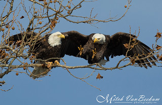 Room For One More? (American Bald Eagles)