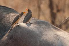 SK7_1012 (glidergoth) Tags: park south safari national zambia waterbuffalo luangwa redbilledoxpecker buphaguserythrorhynchus bubalusbubalis
