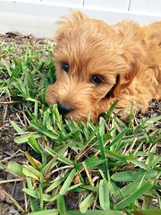 harley-at-8-weeks_16108181663_o