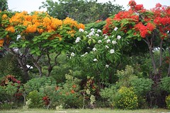field in bloom (Simone Scott) Tags: flowers garden scott islands simone cayman caymanislands brac caymanbrac simonescott