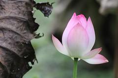 Lotus (cattan2011) Tags: traveltuesday hongkong landscapephotography landscape natureperfection naturephotography nature lotus flowers travelblogger travelphotography travel
