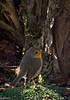La sortie, SVP... (Crilion43) Tags: réflex france véreaux divers nature rougegorge centre oiseaux canon objectif tamron 1200d cher bleue charbonnière mésange