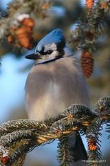 Blue Jay (YEGBirder) Tags: hermitagepark bluejay sprucecone