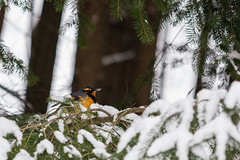 Snowy Beak (Mason Aldridge) Tags: winter snow birds wildlife thrush junco nature birdseed birdfeeder color december cute sweet adorable plump mama birdy canon 6d 80200 80200l 8020028l f28l