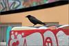 Die Graffiti-Kähe... Gleich fliegt sie los... (julia_HalleFotoFan) Tags: aaskrähe corvuscorone vogel rabenvogel