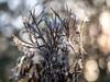 Dead flowers with morning bokeh (Unni Henning) Tags: dryflowers bokeh bokehbackground morninglight silverlight macro closeup nature plant warwickshire england decay wilting autumn winter deadplants