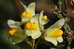 wild Flower (Hugo von Schreck) Tags: hugovonschreck flower blume blüte macro makro wildblume wildflower canoneos5dmarkiii tamronspaf180mmf35dildifmacro11