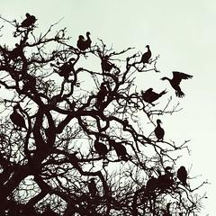 Evening Birds (Jon-Fū, the写真machine) Tags: jonfu 2016 olympus omd em5markii em5ii em5mkii em5mk2 em5mark2 オリンパス mirrorless mirrorlesscamera microfourthirds micro43 m43 mft μft マイクロフォーサーズ ミラーレスカメラ ミラーレス一眼カメラ ミラーレス機 ミラーレス一眼 houston ヒューストン texas tx テキサス 得克萨斯 lone star state texan america usa united states 米国 美国 美國 north birds bird 鳥 birdie birdy animal animals 動物 生き物 fauna tree trees 木